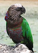 A brown-grey parrot with a white forehead and speckles spanning the head and neck, a red strip of feathers with blue-tips on the nape which also cover the underside, and green wings
