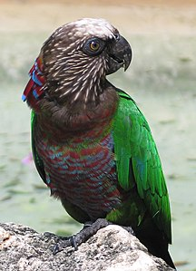 Deroptyus accipitrinus or Red-fan Parrot on ground.jpg