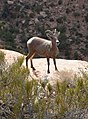 Desert bighorn sheep often blend into their surroundings, but can be spotted by the careful eye. (d95a5fd9-a6a8-481f-a70d-7174ecac9858).jpg