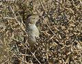 Desert warbler at Kutch.jpg