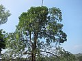 Devil Tree - Alstonia scholaris - ഏഴിലം പാല 02.jpg