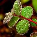 Dew drops - Flickr - Stiller Beobachter (1).jpg