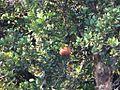 Dhundul tree (23430721030).jpg