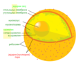Diagram human cell nucleus serbian nuclear pore.PNG