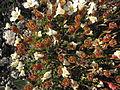 Diapensia lapponica upernavik 2007-07-11 2.jpg