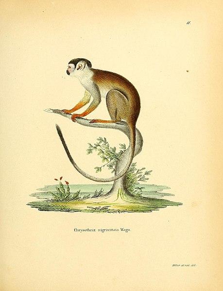File:Die Säugthiere in Abbildungen nach der Natur, mit Beschreibungen (Plate 11) (8547690843).jpg