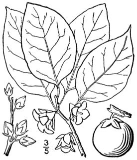 <i>Diospyros virginiana</i> species of plant