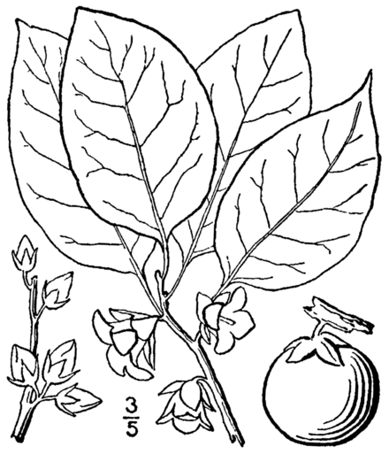 List of Diospyros species - WikiVisually