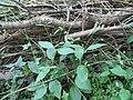 Dipsacus pilosus plant (02).jpg