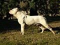 Dogue argentin.JPG