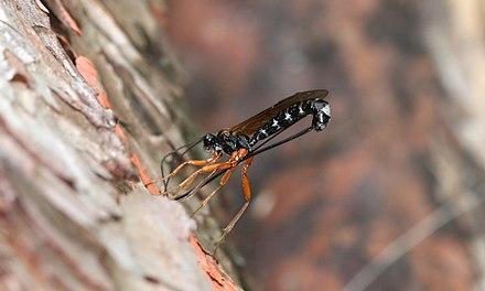 The parasitoidal ichneumon wasp Dolichomitus imperator ovipositing through wood, using its immensely long ovipositor to lay its eggs inside hidden larvae, detected by vibration Dolichomitus imperator Eiablage-02-R Bartz.jpg