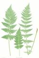 Dryopteris cristata Moore20.png