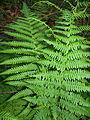Dryopteris filix-mas Athyrium filix-femina Tannwald2.jpg