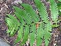Dryopteris goldiana 3zz.jpg