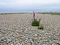 Dungeness Shingle Bank - geograph.org.uk - 445670.jpg