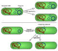 Duplicazione dei plasmidi.png