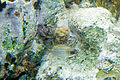 Dusky squirrelfish Sargocentron vexillarium (4676218109).jpg