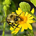 Eastern Bumble Bee on Coastalplain Goldenaster (8228661030).jpg
