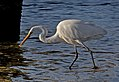 Eastern Great Egret. (22795574696).jpg