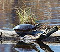 Eastern Painted Turtle (6944205556).jpg