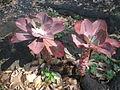 Echeveria gibbiflora 6c.JPG