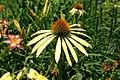 Echinacea Mango Meadowbrite 6801.JPG