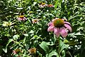 Echinacea purpurea, umn - Flickr - odako1.jpg