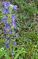 Echium vulgare 143375910.jpg