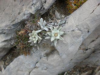 Gran Sasso e Monti della Laga National Park - Abruzzo edelweiss on the Gran Sasso mountain - Monte Camicia.