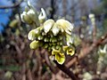 Edgworthia chrysantha (6923812637).jpg