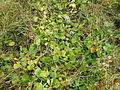 Eichhornia crassipes plant1 (13943376413).jpg