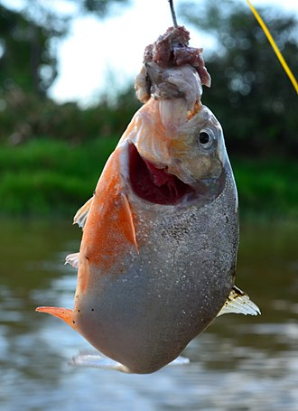 Red-bellied piranha - A piranha caught by a fishing rod baited with chum. Native people of the Amazon sometimes include the piranha in their cuisine.
