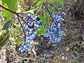 Elderberries Coldwater Canyon, off Indian Trail, Mount Ogden, Utah 2006.JPG