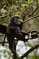 Electrocuted lion-tailed macaque infant in Valparai DSC 2581.jpg