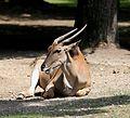 Elenantilope Taurotragus oryx Tierpark Hellabrunn-1.jpg