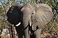 Elephant, Ruaha National Park (21) (28110856253).jpg