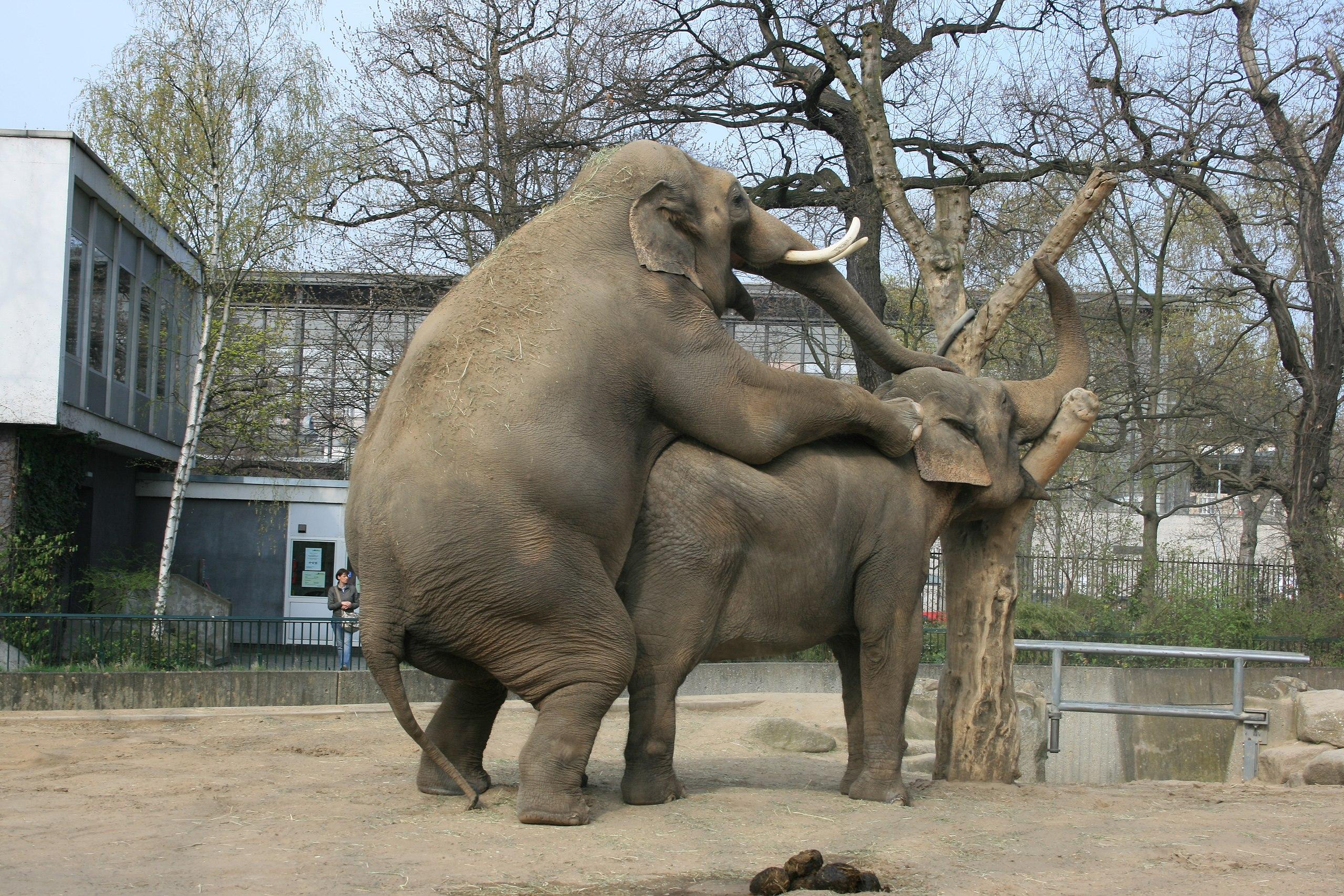 Elephan sex