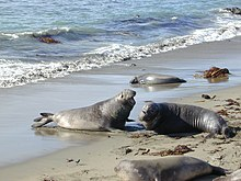 Elephant seal fight Part-2.jpg
