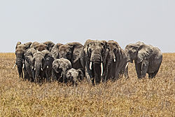 Elephants, Serengeti.jpg