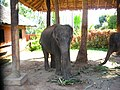 Elephants on a farm of Ko Samui - panoramio.jpg