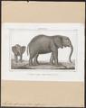 Elephas africanus - 1700-1880 - Print - Iconographia Zoologica - Special Collections University of Amsterdam - UBA01 IZ22000094.tif
