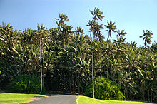 View of road at Neds Beach passing into a forest of tall Kentia palms