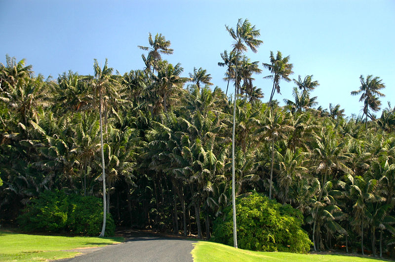 File:Endemic Howea forsteriana Palms- Neds Beach,Lord Howe Island.jpg