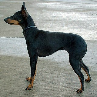 English Toy Terrier (Black & Tan) Dog breed