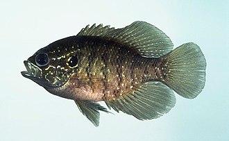 Enneacanthus - Enneacanthus obesus