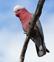 Cockatoo perchin on a branch. Its plumage on the tap o its heid abuin its ees is white an it has a horn-coloured beak. The rest o its heid, its neck, an maist o its front are pink. Its wings an tail are grey.