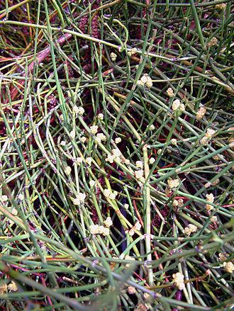 Ephedra sinica - Ephedra sinica