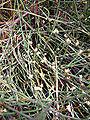 Ephedra sinica alexlomas.jpg