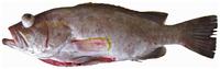 Epinephelus flavolimbatus - pone.0010676.g049.png