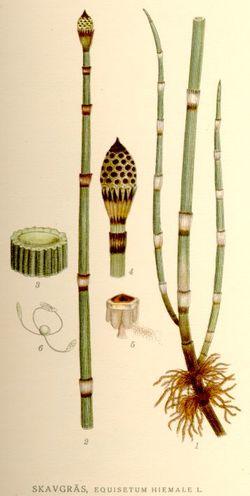 Equisetum hyemale, фотографија је преузета са википедијине оставе